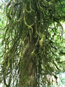 Grandmother Tree, Lewis River Trail