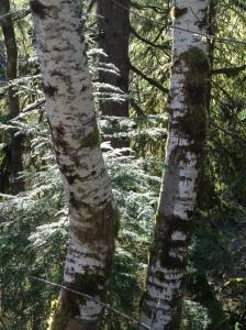 'Sunlight in the Birch'