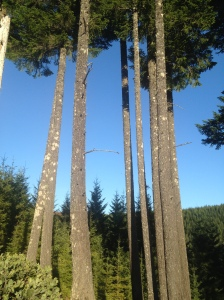 Awesome blue skies between the Douglas Firs.