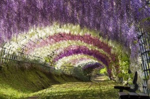 Wisteria Tree Tunnel, Japan